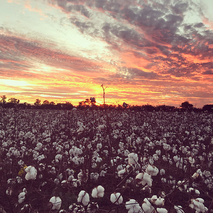 Upland cotton field at sunset in Moulton, Alabama
